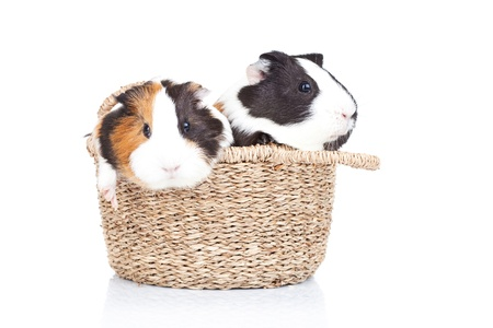 two adorable guinea pigs in a basket against a white background photo
