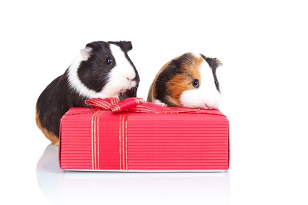Tow guinea pigs hidding behind a red gift isolated photo