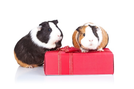 Two adorable guinea pigs sitting on a gift isolated photo