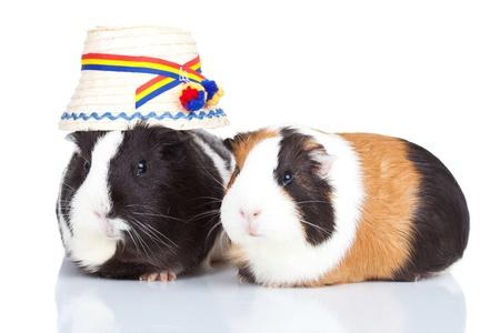 cavie: Ritratto di due cavie con un cappello rumeno isolati