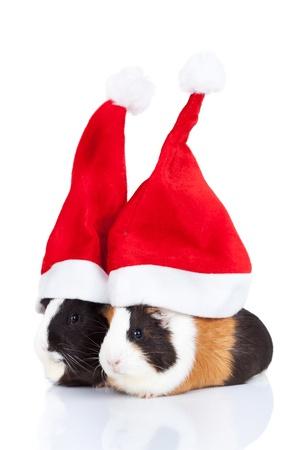 기니: 흰색 배경에 크리스마스 모자와 함께 두 귀여운 기니 돼지