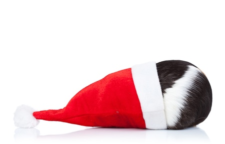 Black and white guinea pig hidding in a christmas hat  Stock Photo