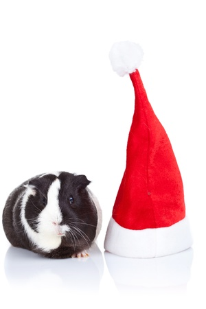 Adorable black and white guinea pig and a christmas hat isolated