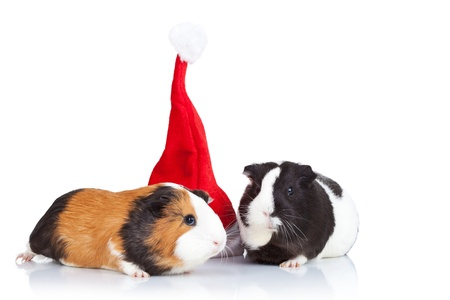 christmas guinea pig: Two cute guinea pigs and a red christmas hat isolated