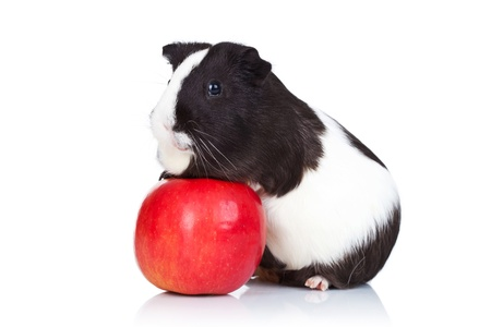 Black and white guinea pig climbing on a red apple photo