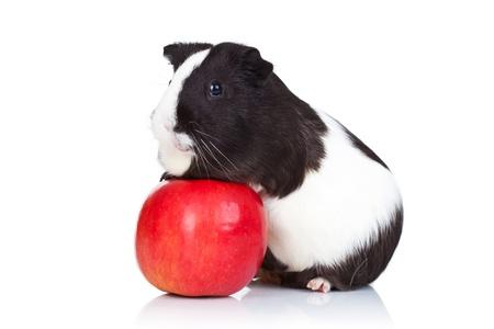 cavie: Maiale nero e bianco ghinea arrampicata su una mela rossa Archivio Fotografico