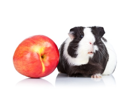 Black guinea pig and a red apple against a white background photo
