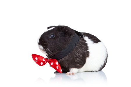 Black and white guinea pig wearing a red bow tie, side view photo