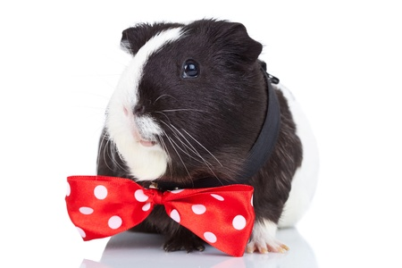 Cute black and white guinea pig wearing a red bow tie photo