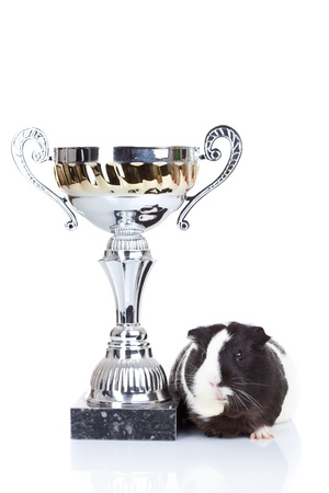 Black and white guinea pig and a winners cup isolated photo