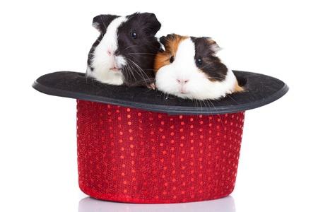 cavie: due simpatici porcellini d'India, seduta in un cappello rosso Archivio Fotografico