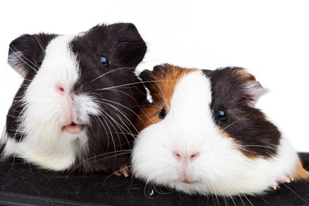 3 little pigs: Close up of two cute guinea pigs on white background
