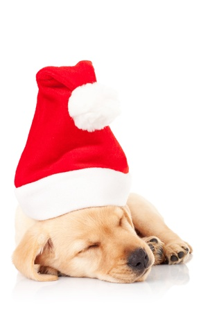 labrador christmas: cute little santa labrador puppy sleeping on a white background