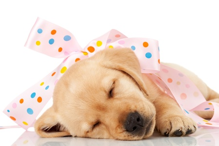wrapped present: cute little labrador puppy wrapped as a present in a pink ribbon, sleeping on white background