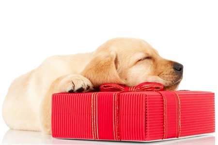 labrador christmas: side view of a sleeping labrador puppy on a gift for christmas, on white background