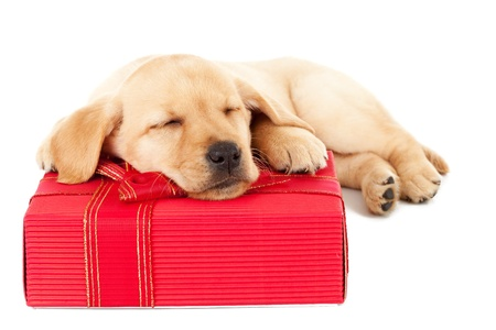cute little labrador puppy sleeping on a christmas present over white background photo