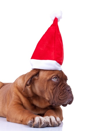 cute french mastiff - dogue de bordeaux puppy with a santa cap looking to its side over white background photo