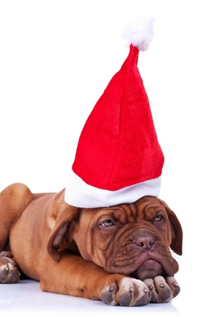 santa puppy looking a little tired after giving all the presents Stock Photo - 11012466