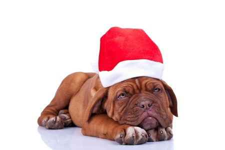 sleepy dogue de bordeaux wearing a santa hat on a white background photo