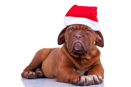 cute french mastiff - dogue de bordeaux puppy with a santa cap pver white background photo