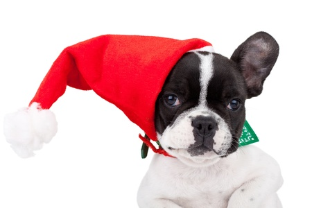closeup picture of a cute french bulldog wearing a santa cap on one of its ears photo