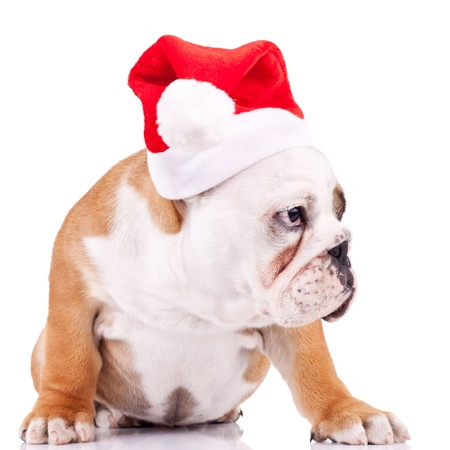 seated english bulldog puppy wearing a santa cap, and is curious about something at its side photo