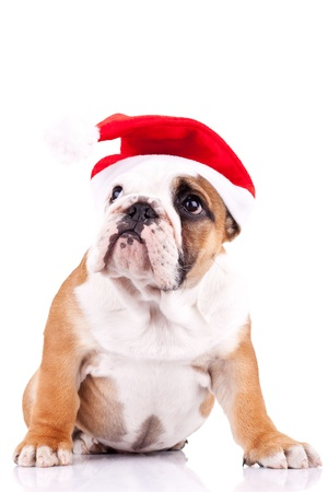 cute little santa english bulldog puppy looking to something up photo