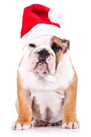 suspicious santa english bulldog puppy sitting and looking at the camera photo