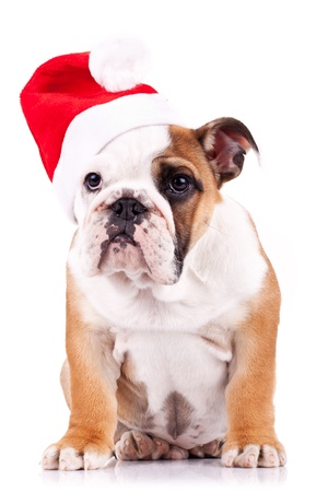santa english bulldog puppy sitting on a white background photo