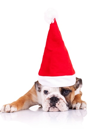 cute shy little santa - english bulldog puppy wearing santa hat over white background photo