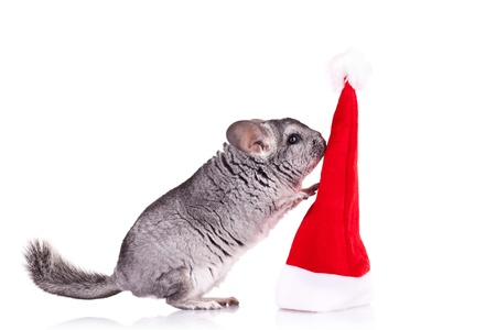 cute chinchilla playing with  a red santa hat over white photo