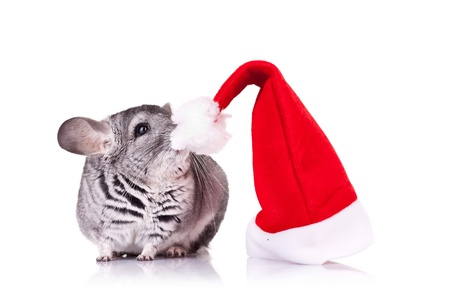 cute chinchilla smelling a red santa hat over white photo