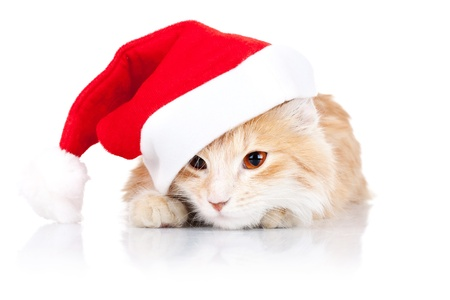 closeup picture of a cute cat wearing a santa hat over wite background photo