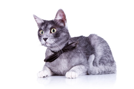 gray haired: cute cat with a bow tie at its neck lying down on a white background