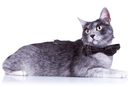 side view of a cute cat with great eyes and a nice bow tie Stock Photo - 11093257