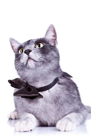 cute cat with a bow tie at its neck looking to something  on a white background photo