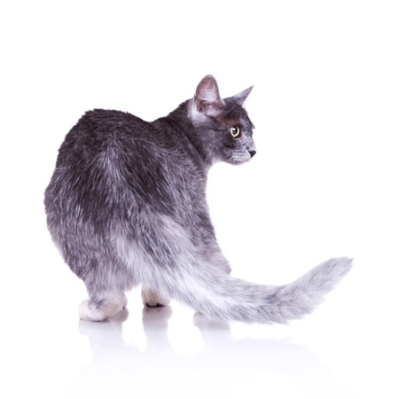 back view of a nice gray cat standing on a white background photo