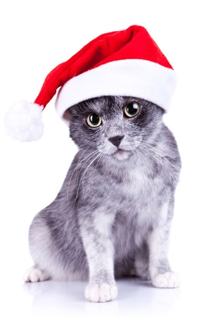cute little gray cat wearing a santa hat looking to the camera over white background