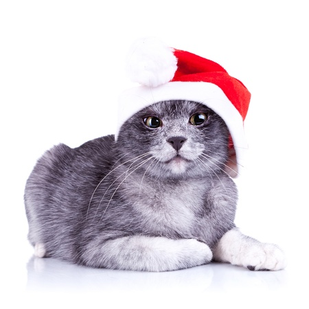 suspicious little santa cat, looking at the camera on a white background photo