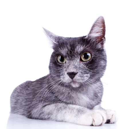 wide angle closeup of a cute gray cat on a white background Stock Photo - 11093203