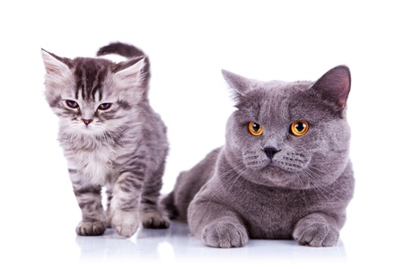 adorable cats on a white background, one standing very sleepy and one seated photo