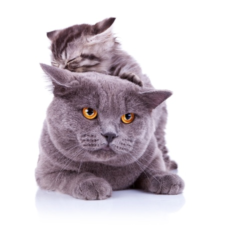 cute playful cats - small cat on the back of a big gray british  cat photo