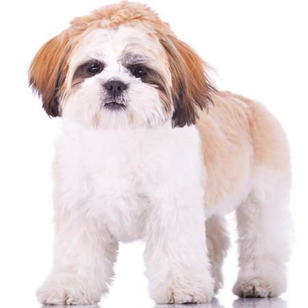 standing shih tzu puppy, looking at the camera on white background photo