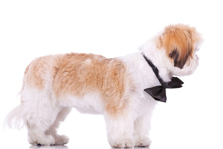 side view of a standing little shih tzu puppy, looking at its side  on white background photo