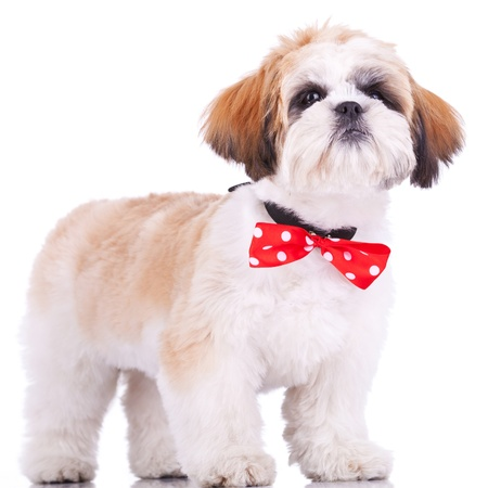 curious little shih tzu puppy, wearing a red neck bow, staning on white background photo