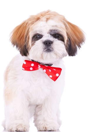 shih tzu: cute shih tzu puppy standing on white background, looking at the camera Stock Photo