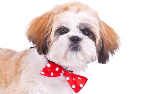 small white dog: head of a cute shih tzu puppy wearing a red neck bow on white background