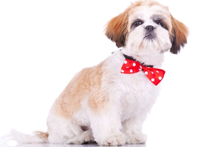 sitting little shih tzu puppy, wearing a red neck bow, on white background photo