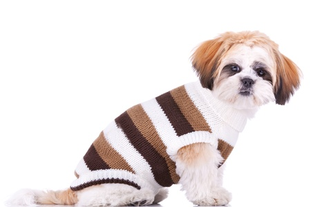 small white dog: side view of a cute little dressed shih tzu puppy, on a white background Stock Photo
