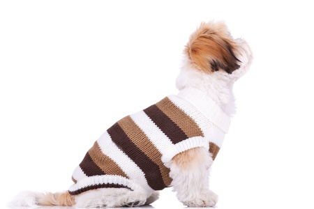 side view of a cute little dressed shih tzu puppy looking up at something, on a white background Stock Photo - 11532480